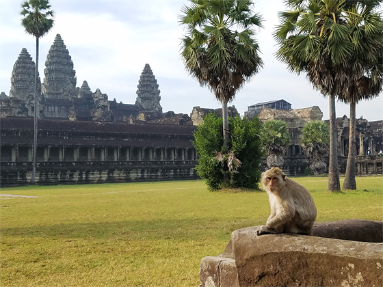 柬埔寨- monkey at Angkor Wat